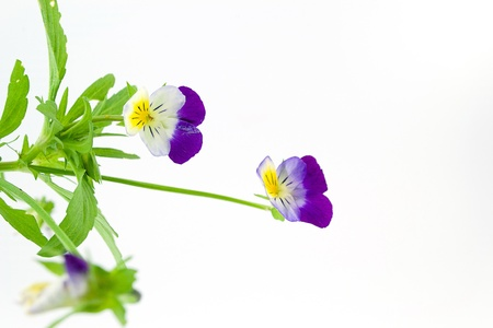 pansies  Stock Photo