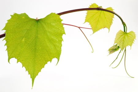 grape leaves Stock Photo - 13853086