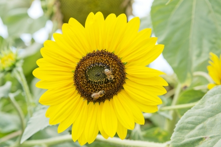 bees on a sunflower plant  photo
