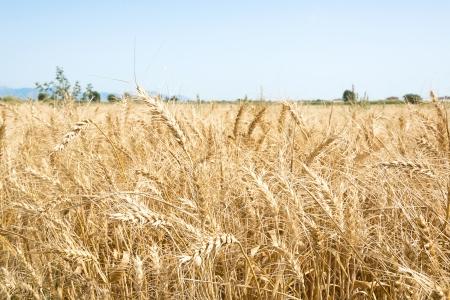 threshing: Field of wheat  Stock Photo