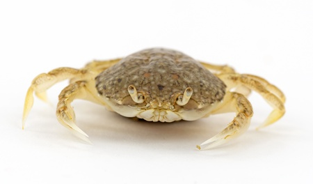 crab isolated on white photo