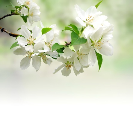 plum blossom: blossoming tree brunch