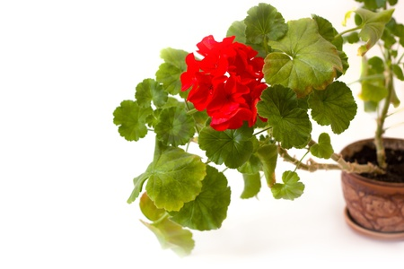 red pelargonium flower in the pot isolated on white photo