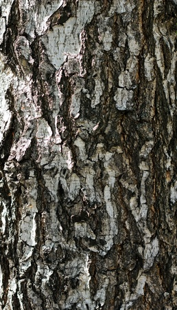 birch bark tree texture background photo