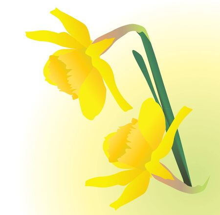 yellow spring daffodil flowers vectpor realistic illustration illustration