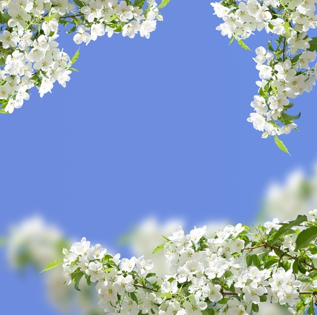 APPLE trees: blossoming apple tree spring photo