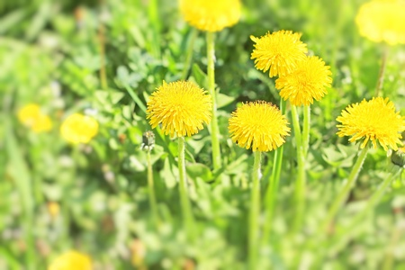yellow dandelion flowers on bright sunlight in the grass photo