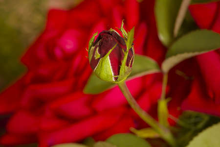 red rose bud on blur background photo