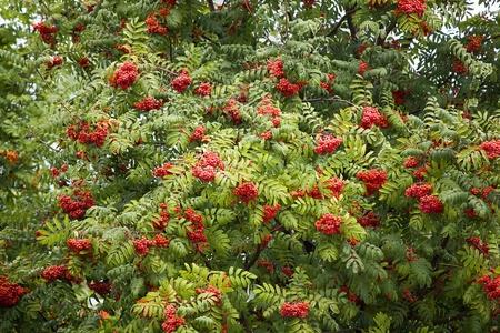 rowan tree: Rowan berries