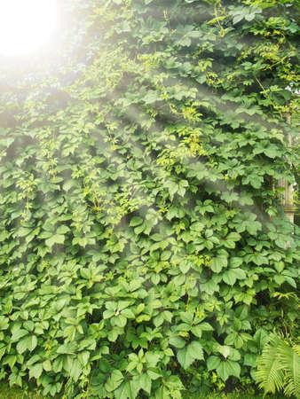 sunbeams: bush texture and sunbeams