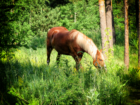 Flaxen color breed horse grazing in the woods 스톡 콘텐츠