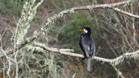 Great Cormorant on branch with white moss