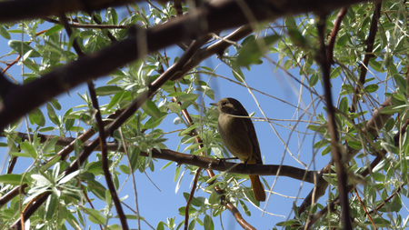 Close-Up or Yellow-Green Bird Resting in a Tree