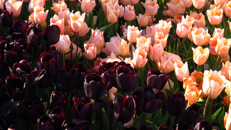 Dark Purple and Pink Tulips in a Tulip Field Stockfoto