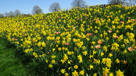 Field of Yellow Narcissus Blooming During Spring Against Blue Sky