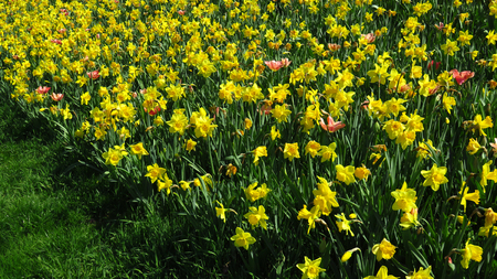 Field of Yellow Narcissus Blooming During Spring Against Green Grass Stockfoto