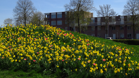Field of Yellow Narcissus Blooming During Spring in Neighborhood