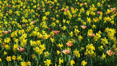 Field of Yellow Narcissus Blooming During Spring Stockfoto