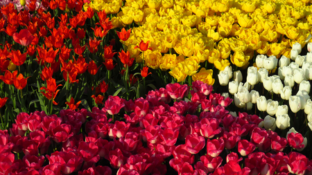 Four Squares or Tulips in a Tulip Field