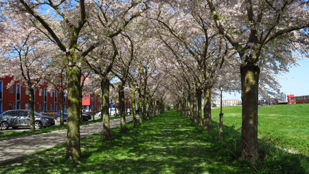 Path Lined With Pink and White Spring-Blooming Trees Stockfoto