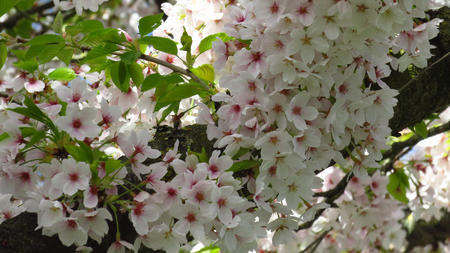 Pink and White Blossom on Blooming Tree Stockfoto - 100535937