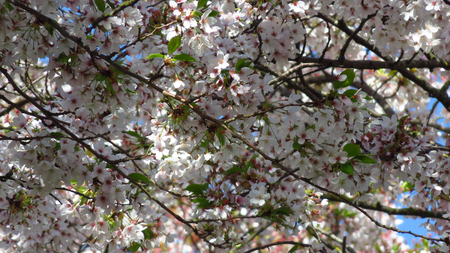 Pink and White Blossom on Spring-Blooming Tree