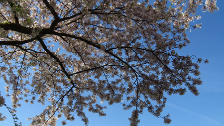Pink and White Spring Blooming Tree with Blue Sky