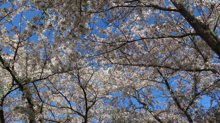 Pink and White Spring-Blooming Trees