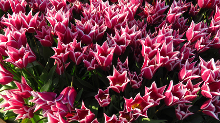 Pink and White Tulips in a Flowering Tulip Field