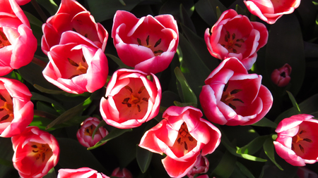 Pink and White Tulips in a Tulip Field
