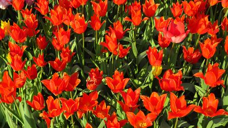 Red Tulips in a Flowering Tulip Field