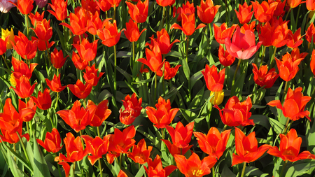 Red Tulips in a Flowering Tulip Field Stockfoto - 100269029