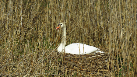 Swan Breeding on Nest during Spring