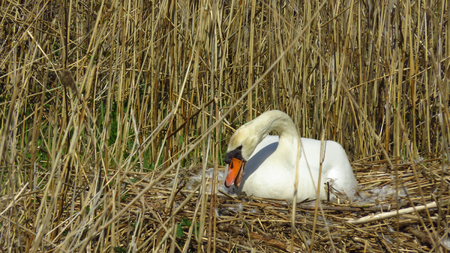 Swan Building Nest during Spring