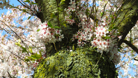 White and Pink Blossom on Spring-Blooming Tree