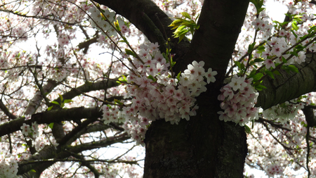 White and Pink Blossom on Spring-Blooming Trees Stockfoto