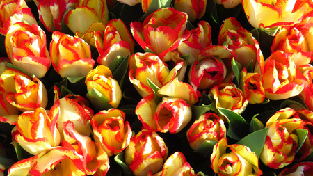 Yellow and Red Tulips in a Flowering Tulip Field