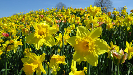 Yellow Narcissus Blooming During Spring Against Blue Sky Stockfoto