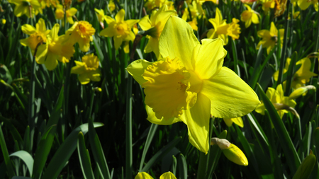 Yellow Narcissus Blooming During Spring