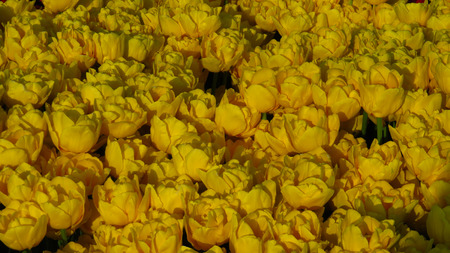 Yellow Tulips in a Flowering Tulip Field Stockfoto