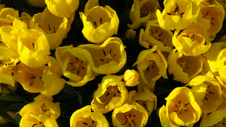 Yellow Tulips in a Tulip Field