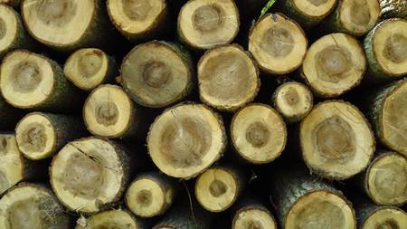 Big Pine Wood Logs In Large Woodpile Stockfoto