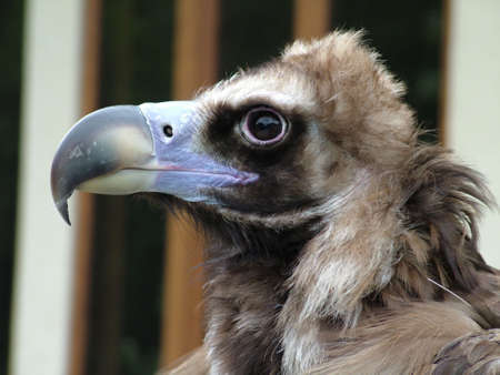 Eagle close up  photo