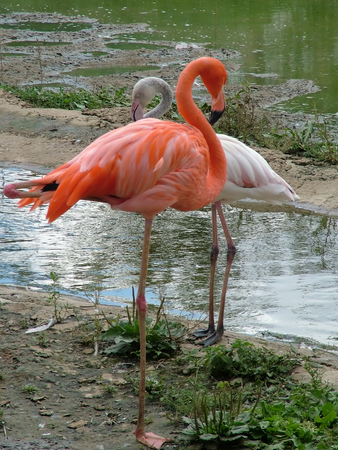 Flamingo Stock Photo - 1482674