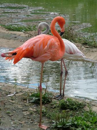 Flamingo Stock Photo - 1482674