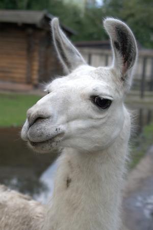 Animal is the lama photo