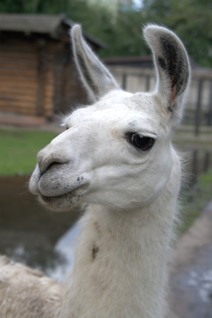 Animal is the lama photo