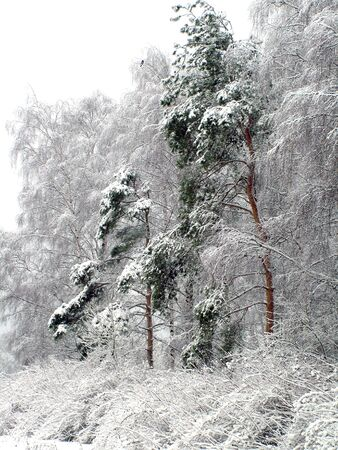 Pine trees against the background of the birches