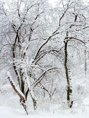 Apple-tree garden. photo