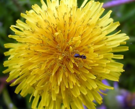 Dandelion and the ant           photo